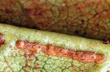 Image related to Rhododendron (Rhododendron)-Rhododendron lace bug