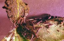 Image related to Rhubarb-Armyworm, cutworm, and looper