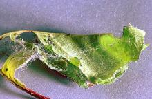 Image related to Rose (Rosa)-Leafroller