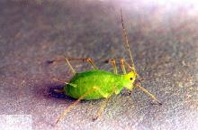 Image related to Rose (Rosa)-Rose aphid
