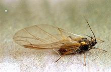 Image related to Small grain-Aphid