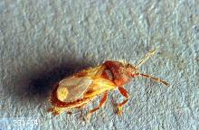 Image related to Small grain-Chinch bug