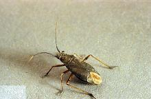 Image related to Small grain-Grass bug
