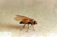Image related to Small grain-Leafminer