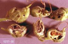 Image related to Spiraea (Spiraea)-Snapdragon plume moth