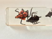 Spotted Lanternfly immatures