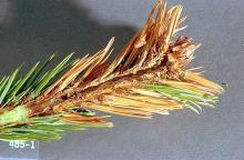 Image related to Spruce (Picea)-Coneworm