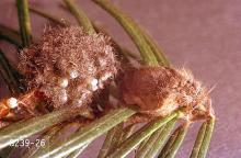 Image related to Spruce (Picea)-Douglas-fir tussock moth