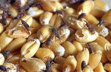Image related to Stored grain pests