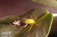 Image related to Strawberry-Lygus bug