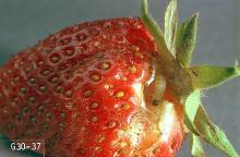 Image related to Strawberry-Omnivorous leaftier