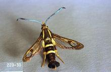 Image related to Strawberry-Strawberry crown moth