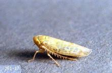 Image related to Sugar beet-Beet leafhopper