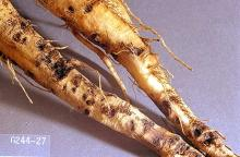 Image related to Sugar beet-Sugar beet root maggot