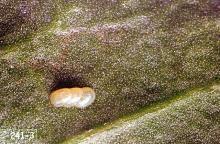 Image related to Sugar beet-Webworm