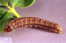 Image related to Sunflower-Cutworm