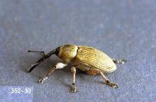 Image related to Sunflower-Seed weevil