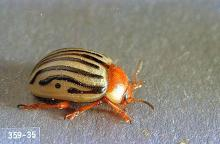 Image related to Sunflower-Sunflower beetle