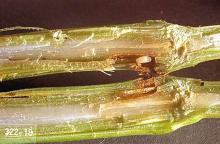 Image related to Turfgrass-Billbug