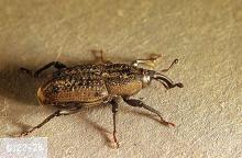 Image related to Turfgrass-Billbug