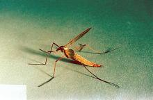 Image related to Turfgrass-Crane fly