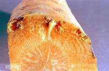 Image related to Vegetable crop pests-Carrot rust fly