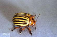 Image related to Vegetable crop pests-Colorado potato beetle