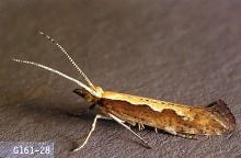 Image related to Vegetable crop pests-Diamondback moth