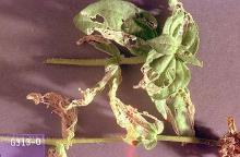 Image related to Vegetable crop pests-European earwig