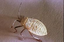 Image related to Vegetable crop pests-Squash bug