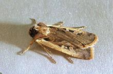 Image related to Vegetable crop pests-Western bean cutworm