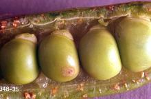 Image related to Vetch seed-Vetch bruchid