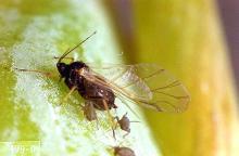 Image related to Viburnum (Viburnum)-Bean aphid