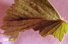 Image related to Viburnum (Viburnum)-Root weevil