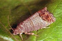 Image related to Walnut-Codling moth