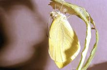 Image related to Watercress-Lepidoptera larvae