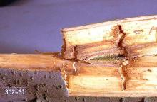 Image related to Willow (Salix)-Poplar-and-willow borer