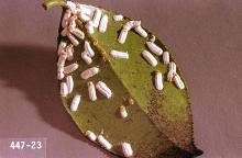 Image related to Yew (Taxus)-Cottony camellia scale