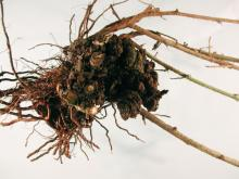 Image related to Blackberry (Rubus spp.)-Crown and Cane Gall