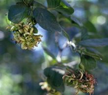 Image related to Alder (Alnus spp.)-Catkin Hypertrophy and Leaf Curl
