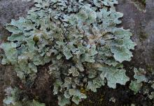 Image related to Algae, Lichens, and Mosses on Plants