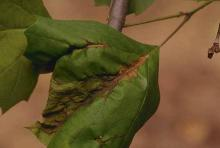 Sycamore Anthracnose