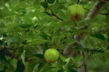 Image related to Apple (Malus spp.)-Fruit Russeting