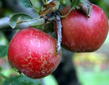 Image related to Apple (Malus spp.)-Powdery Mildew