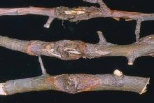 Image related to Apple (Malus spp.)-Perennial Canker (Bull's-eye Rot)