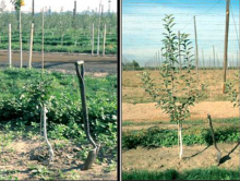 Image related to Apple (Malus spp.)-Replant Disease