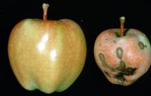 Distored apple with scab