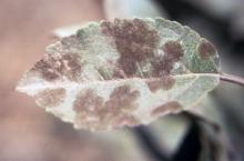 Many scab lesions on leaf