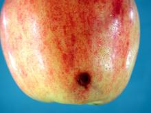 Image related to Apple (Malus spp.)-Storage Problems