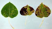 Image related to Aspen (Populus tremuloides)-Marssonina Leaf Spot